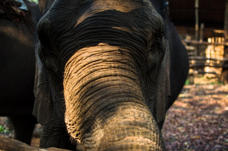 close-up-elephant-chiang-mai