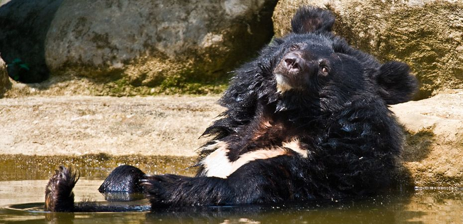 bear taking a bath - asia