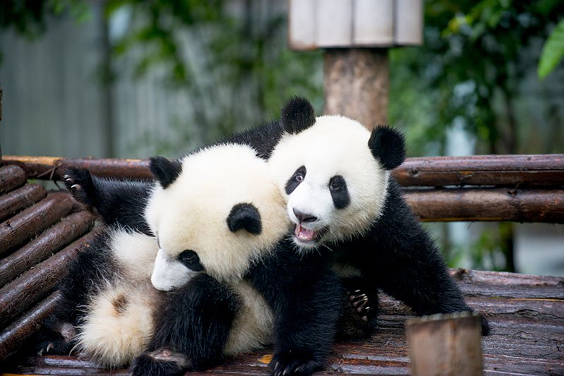 Animal Sanctuaries in Asia - Sichuan Giant Panda Sanctuaries
