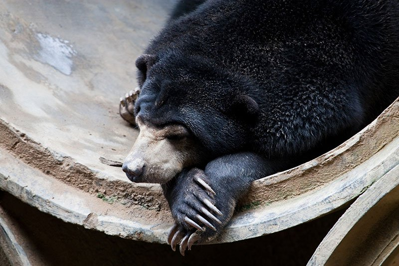 Animal Sanctuaries in Asia- Sun Bear
