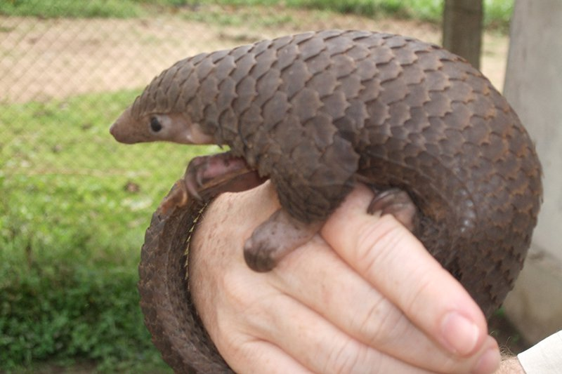 What NOT to Eat in Asia - Pangolin