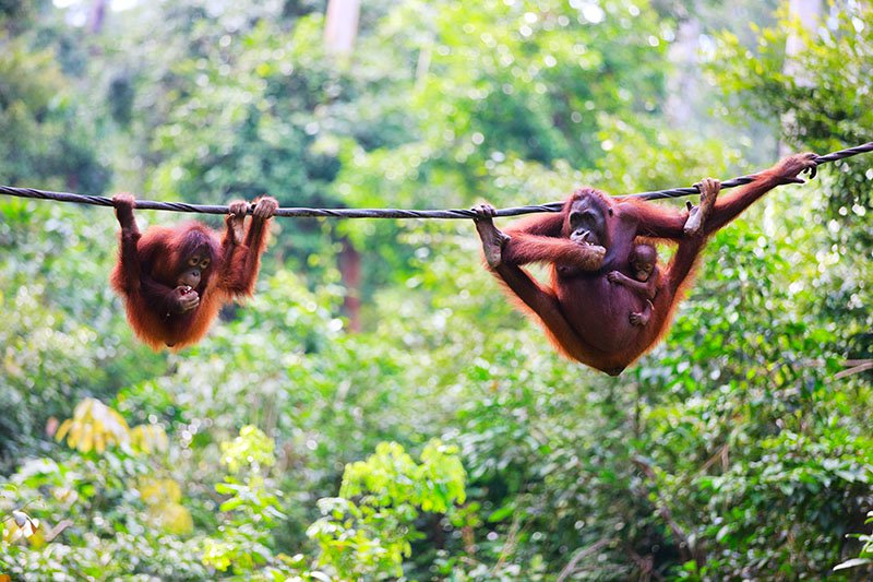 Animal Sanctuaries in Asia - Sepilok Orangutan Rehabilitation Centre